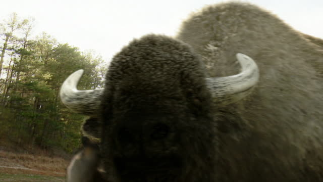 medium hand-held pan-left pan-right - howling wolves leap in mud around a buffalo in a computer-generated animation. / los angeles, california, usa - american bison stock videos & royalty-free footage