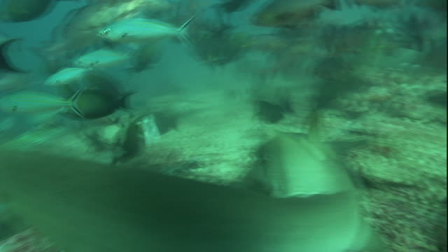 Medium hand-held pan-left pan-right - Sharks swim with fish above the ocean floor.