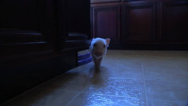 Medium hand-held pan-left push-out - A piglet wanders into a dark hallway and then enters a kitchen.