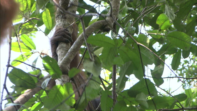 medium hand-held pan-right - orangutans swing on tree branches / borneo, indonesia - island of borneo stock videos and b-roll footage