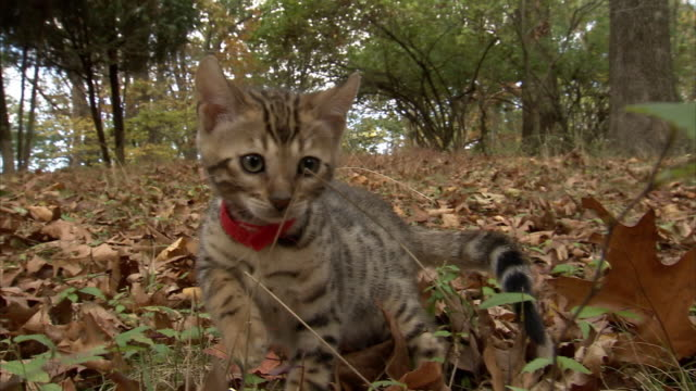 medium hand-held push-in tracking-left tracking-right - a bengal kitten investigates a leaf-littered lawn. - camouflage点の映像素材/bロール