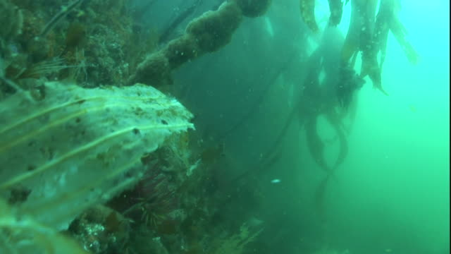 medium hand-held push-in-kelp fronds undulate with the ocean's current. / alaska - kelp stock videos & royalty-free footage