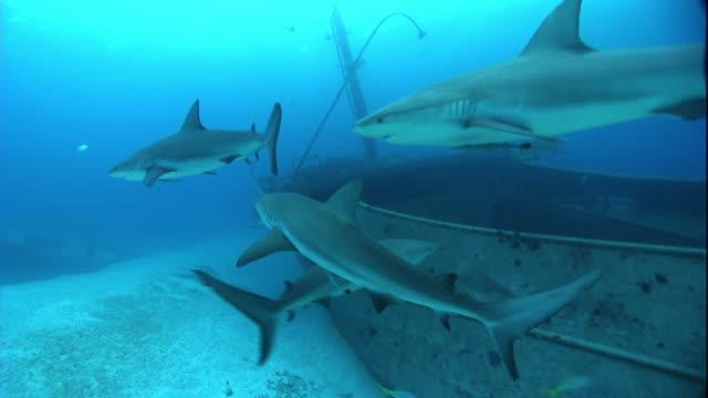 stockvideo's en b-roll-footage met medium hand-held - sharks swim near a sunken boat. - scheepswrak