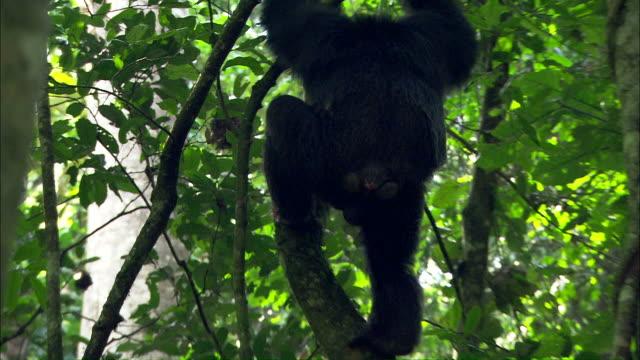 Medium hand-held tilt-down - A chimpanzee climbs down a tree trunk / Uganda