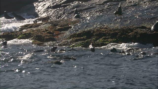 vídeos y material grabado en eventos de stock de medium hand-held tilt-down - seals swim and clamber up rocks on the coast / seal island, south africa - foca peluda del cabo