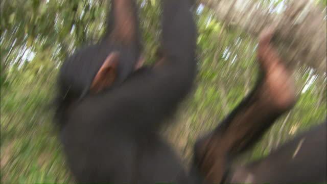 vidéos et rushes de medium hand-held tilt-down tilt-up tracking-left tracking-right - a chimpanzee swings across branches and climbs higher / uganda - chimpanzé