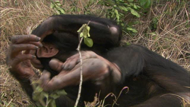 vídeos y material grabado en eventos de stock de medium hand-held tilt-down tilt-up tracking-left tracking-right - a chimpanzee tumbles and plays in the grass / uganda - chimpancé