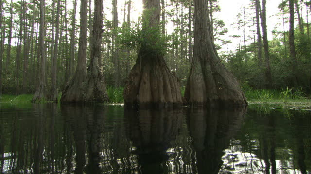 medium hand-held - water ripples in a pond in a forest of giant trees. / florida, usa - okefenokee national wildlife refuge stock videos and b-roll footage
