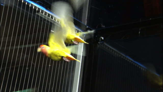 medium hand,held zoom,in , colorful birds fly in a wind tunnel. / oregon, usa - copying stock videos & royalty-free footage