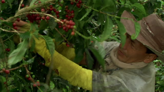 medium hand-held-a plantation worker harvests coffee beans.   - plantation stock videos & royalty-free footage