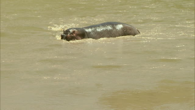 Medium Long Shot - A hippo wades in a watering hole where it defecates / Kenya