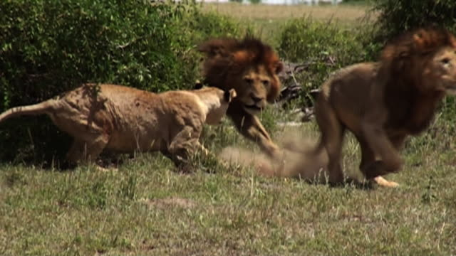 Medium Long Shot hand-held - A female lion briefly attacks a male lion. / Kenya