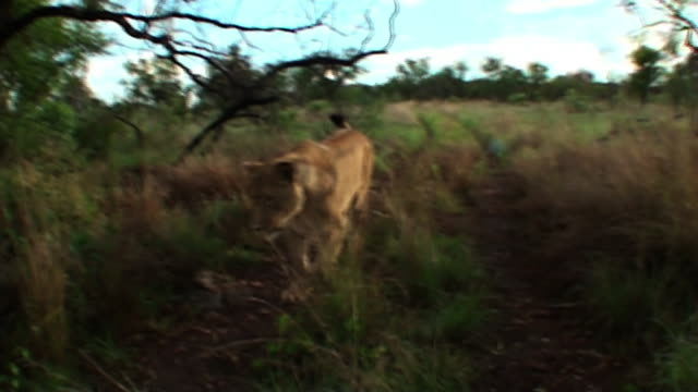 medium long shot hand-held - a female lion runs in slow motion straight toward the camera. / johannesburg, south africa - aggression stock videos & royalty-free footage