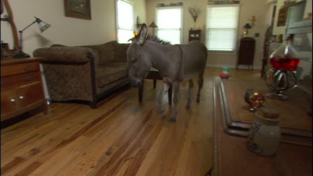 vídeos y material grabado en eventos de stock de medium long shot hand-held - a miniature donkey walks through a living room. - mesa baja de salón