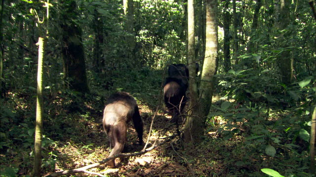 vidéos et rushes de medium long shot hand-held - a tribe of chimpanzees walks through the jungle / uganda - medium group of animals