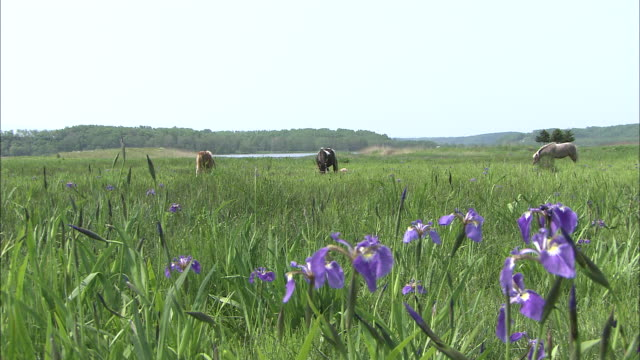 medium long shot of farm horses grazing amid irises in koshimizu - small group of animals stock videos & royalty-free footage