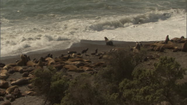 medium long shot pan-left - a colony of seals gathers at the shoreline along the peninsula valdes in argentina. / chubut, argentina - provinz chubut stock-videos und b-roll-filmmaterial