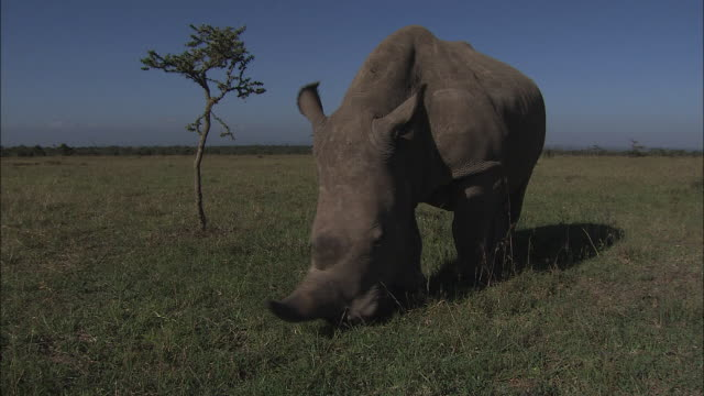 medium long shot pan-left - a rhinoceros grazes on short, dry grass. / kenya - audio available stock videos & royalty-free footage