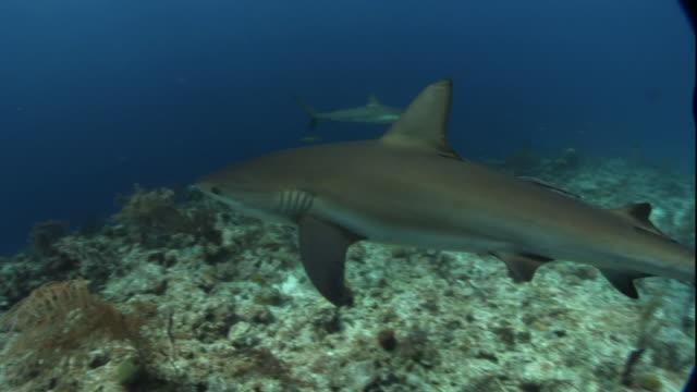 Medium Long Shot pan-left - Sharks swim in the clear ocean over a reef.