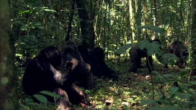 Medium Long Shot pan-left zoom-in - Chimpanzees sitting in a shady forest get up and knuckle walk away / Uganda