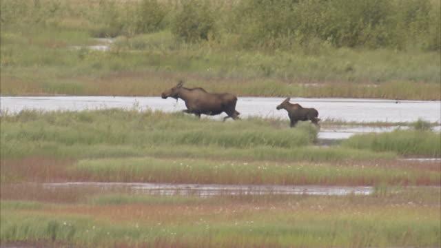 """medium long shot pan-left-a calf follows an adult moose along a stream. / alaska, usa"" - hooved animal stock videos & royalty-free footage"