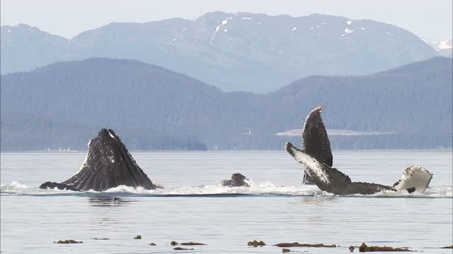 "vidéos et rushes de ""medium long shot pan-left-a pod of whales surfaces off the mountainous alaska coast. / alaska,  usa"" - groupe de mammifères marins"