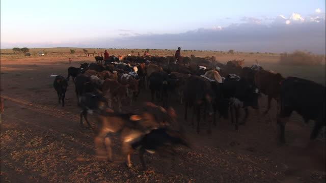 Medium Long Shot pan-right - Tribesmen herd cattle in Kenya. / Kenya