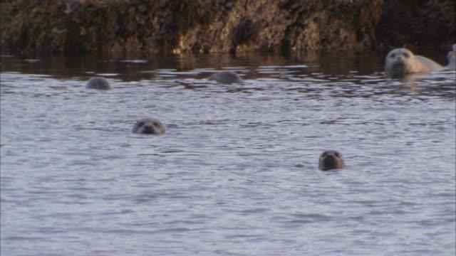 """""""medium long shot pan-right-seals swim near a rocky shore in alaska. / alaska, usa"""" - liten djurflock bildbanksvideor och videomaterial från bakom kulisserna"""