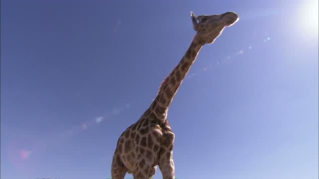 Medium Long Shot push-in - A giraffe lowers its head as it walks into a tree / South Africa