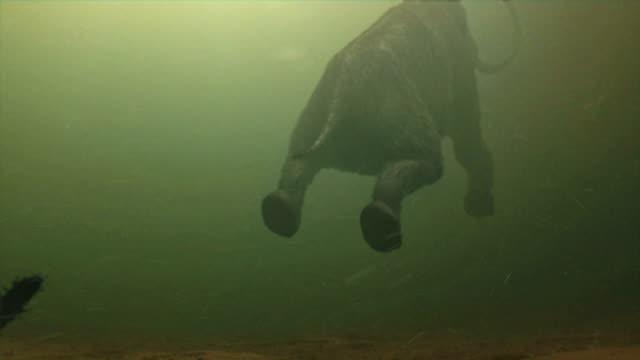 medium long shot push-in - mastodons swim underwater. / dallas, texas, usa - 先史時代点の映像素材/bロール