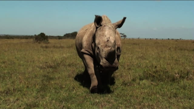 medium long shot push-out - a rhino trots across the savanna. / kenya - 攻撃的点の映像素材/bロール