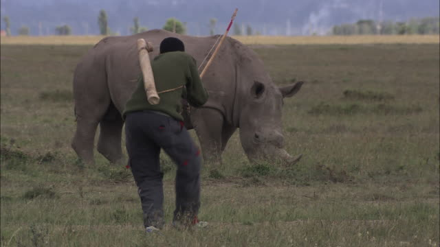 Medium Long Shot static - A poacher with a bow and arrow approaches a rhinoceros. / Kenya