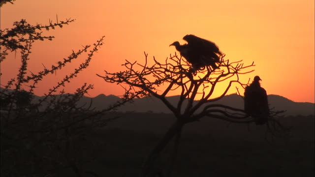 Medium Long Shot static - A red sky silhouettes vultures that perch in a desert tree. / Ethiopia