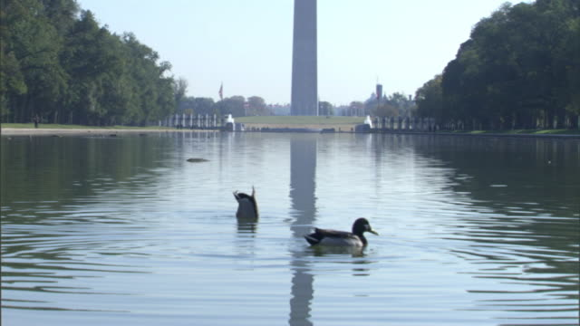 Medium Long Shot static - Ducks paddle in the reflecting pool at the base of the Washington Monument. / Washington, D.C., USA