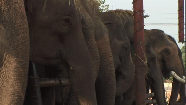 Medium Long Shot static - Elephants eat on a farm. / Thailand