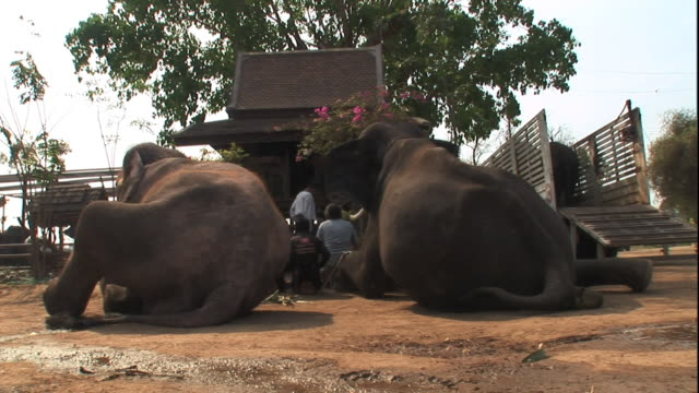 medium long shot static - two elephants sit near men in front of a hut. / thailand - arbetsdjur bildbanksvideor och videomaterial från bakom kulisserna