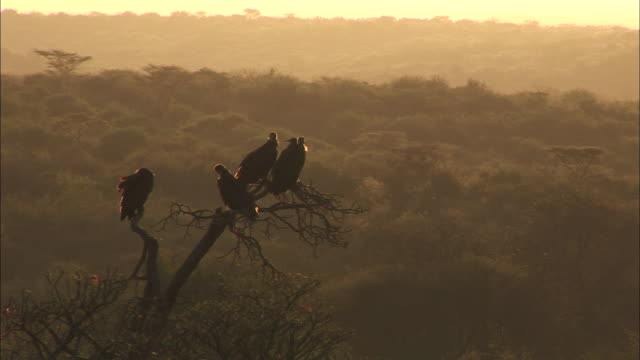 medium long shot static - vultures perch on a bare branch above the tops of other trees. / ethiopia - 毛づくろい点の映像素材/bロール