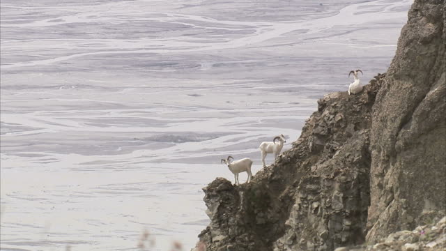 "stockvideo's en b-roll-footage met ""medium long shot static-goats stand on rocky cliffs. / alaska, usa"" - drie dieren"