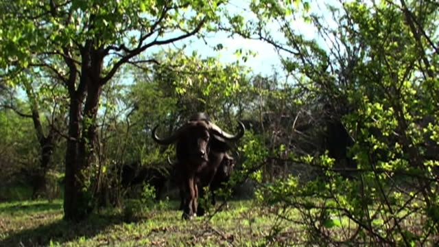 Medium Long Shot steadicam - A Cape buffalo walks through a thicket. / Johannesburg, South Africa