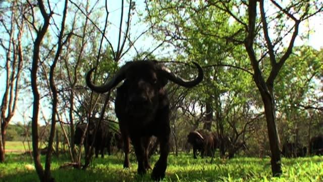 vídeos de stock, filmes e b-roll de medium long shot steadicam - cape buffalo walk in a grassy clearing. / johannesburg, south africa - cornudo