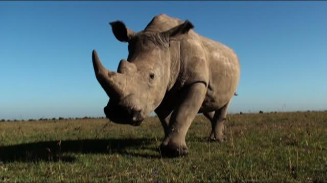 Medium Long Shot tilt-up - A rhino wiggles its ears as it walks across the savanna. / Kenya