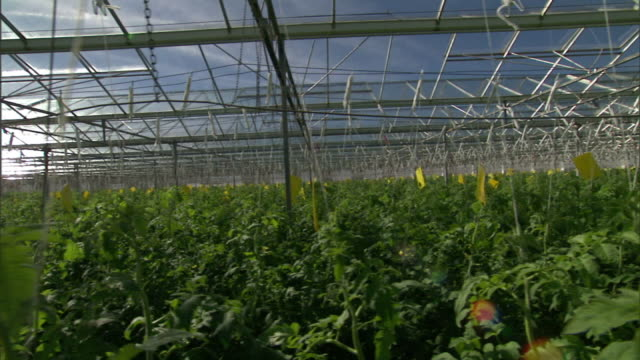 Medium Long Shot tracking-left - Tomatoes grow and ripen in a greenhouse. / Willcox, Arizona, USA