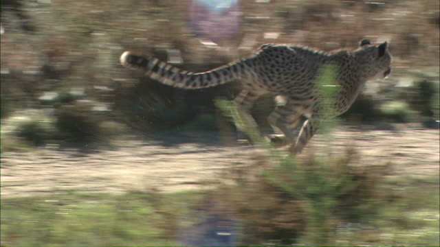 medium long shot tracking-left tracking-right - a cheetah runs fast over a trail in a grassland / south africa - cheetah stock videos and b-roll footage
