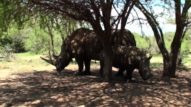 vidéos et rushes de medium long shot tracking-right - a rhinoceros and her calf stand in the shade of trees. / johannesburg, south africa - medium group of animals