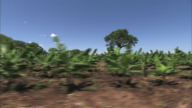 medium long shot tracking-right - a vehicle passes by tropical agricultural fields in zambia. / zambia - zambia stock videos & royalty-free footage