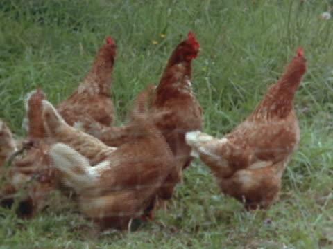 medium long shot - chicken coop stock videos & royalty-free footage