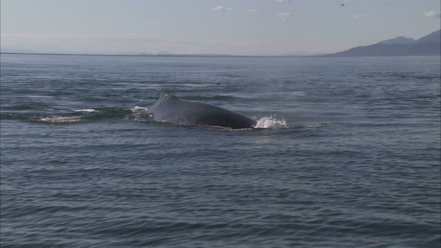 'Medium Long Shot zoom-in-A humpback whale surfaces, spouts and dives. / Alaska, USA'
