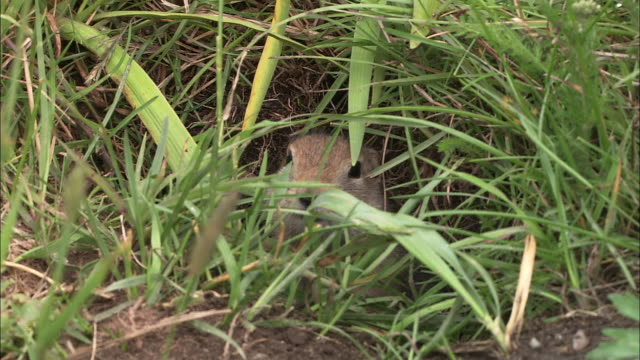 vídeos y material grabado en eventos de stock de medium longshot of arctic ground squirrel poking its face out of its borrow this creature hibernates 9 months of the year - madriguera