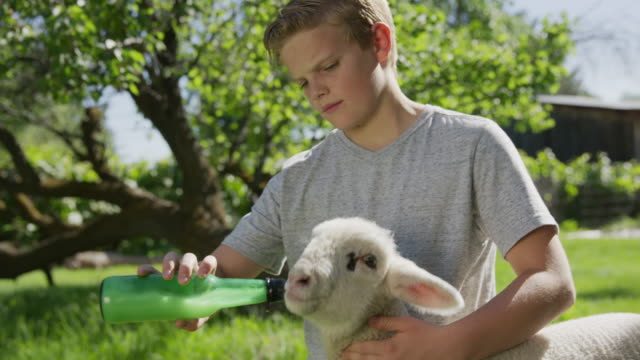 medium low angle shot of boy feeding bottle to lamb / springville, utah, united states - springville utah stock videos & royalty-free footage