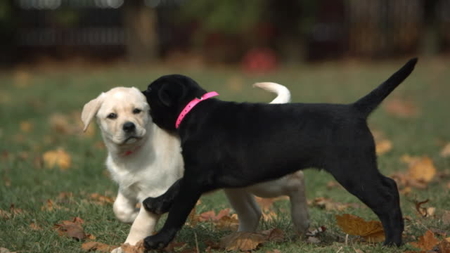 medium pan-left - a black puppy and a white puppy play in a grassy park. - puppy stock videos & royalty-free footage